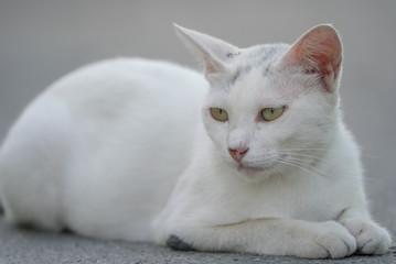 日陰でくつろぐ白猫