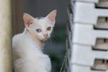 振り返りざまのオッドアイの白猫の子猫