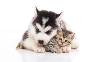 Cute siberian husky puppy cuddling cute kitten