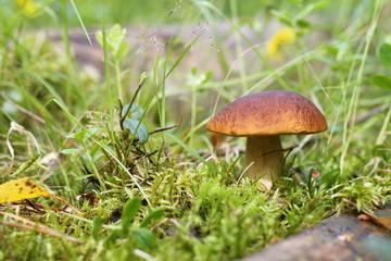 Porcini growing among moss in the forest.