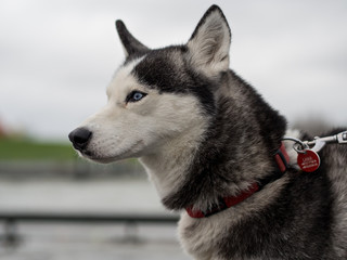 Portrait of husky dog with leash