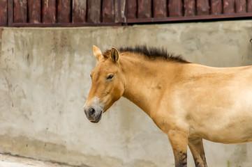 Przewalski horse at the zoo. Wild asian horse Equus ferus przewalskii