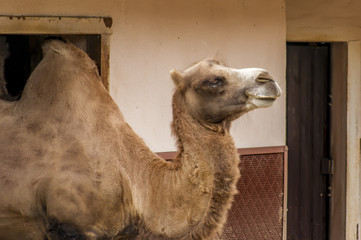 camel in city zoo