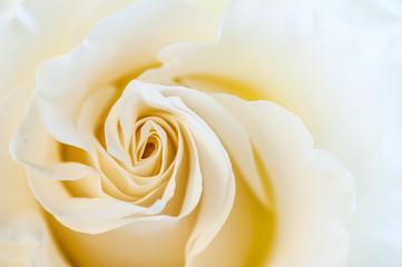 Cream rose macro. Greeting card, greeting, background, texture. Flower pattern.