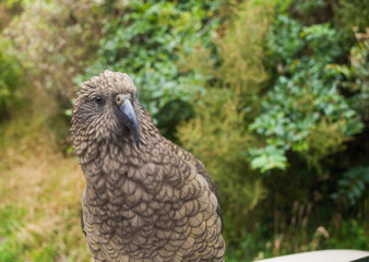 The very rare Kea alpine parrot bird from new zealand. Kea birds are in decline and are classes as a vulnerable species. New zealand parrot.