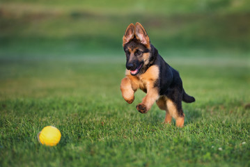 german shepherd puppy running outdoors