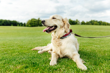 cute golden retriever dog lying on green grass in park