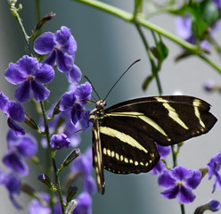 striped butterfly on purple flower