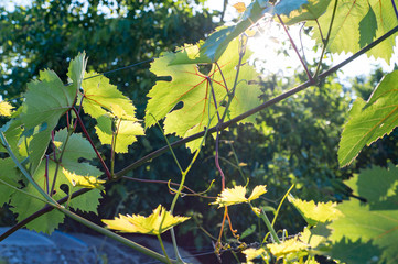 Juicy grape leaves with a lot of sunshine. Close-up