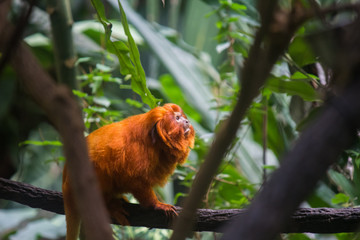 Acrylic Prints Brazil Golden lion tamarins (Mico leao dourado) are a specie of monkeys native to the Atlantic Forest of Brazil