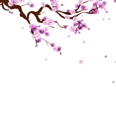 Watercolor sakura background with blossom cherry tree branch. Hand drawn  flowers on white background. Vector