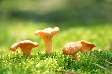 Group of mushroom chanterelle in moss