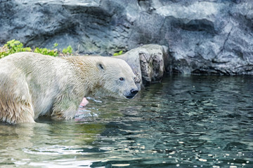 Close up of a polar bear in the water