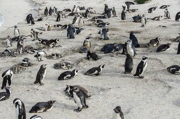 African Penguins 2 - Table Mountain National Park - South Africa