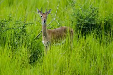 Antelope Dik Dik 3 - Etosha National Park - Namibia