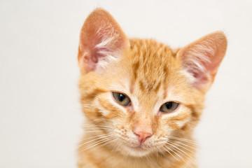 portrait of a little red kitten