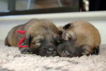 Sleeping Eurasier puppies