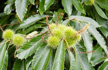 growing spiked green chestnuts conkers on tree up close with leaves