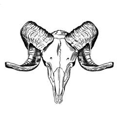 Illustration with goat skull. Hand drawn.