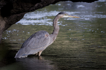 A Great Blue Heron searches for prey along a stretch of the Crooked River.