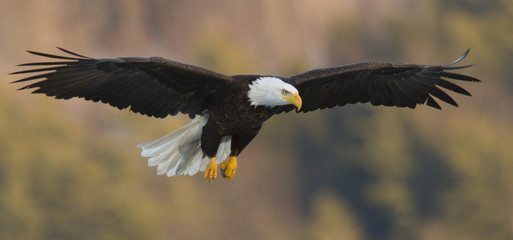 Bald eagle (Haliaeetus leucocephalus) flying against blurry background