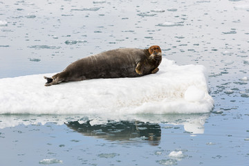 Bearded Seal is resting on an ice floe, Svalbard, Spitsbergen, Norway