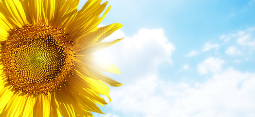 sunflower with blue sky and beautiful sun / sunflower