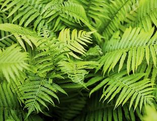 Fern leaf green foliage a natural plant background