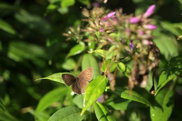 lato - motyl na floksach