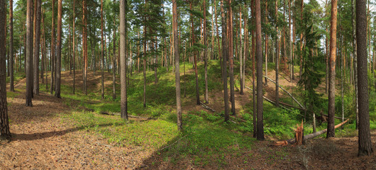 Panorama taken in the coniferous forest in summer. The hilly area. Growing trees and windbreak. Falling of old trees in a forest caused by a storm or strong wind.