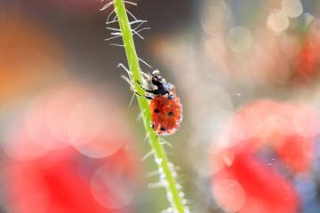 Small Red Ladybug