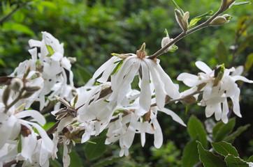 Magnolias étoilés