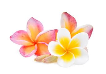 white and pink frangipani (plumeria) flower isolated on white background