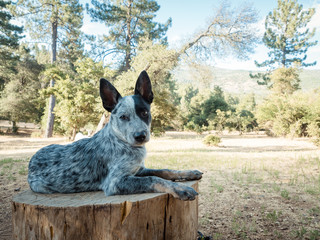 Timber the cattle dog on a log, only four months old.