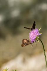 Schmetterlinge auf der Blume