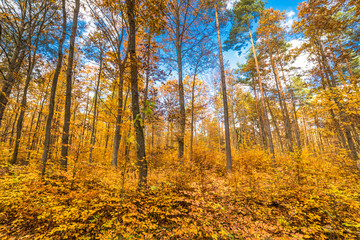 Autumn forest, fall landscape with golden leaves on trees