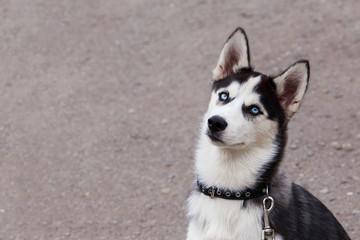 Dog puppy breed Siberian husky