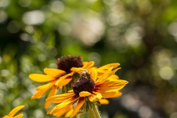 Sonnenblumen und Biene