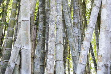 Bamboo forest, natural bamboo wood, outdoor day light