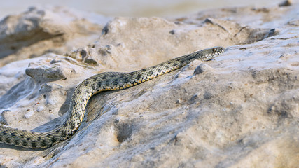 Water snake creeps on the stone