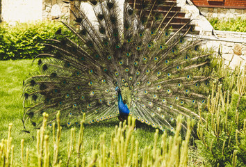 Beautiful male peacock with expanded feathers on the grass