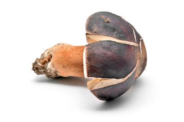 boletus aereus mushroom