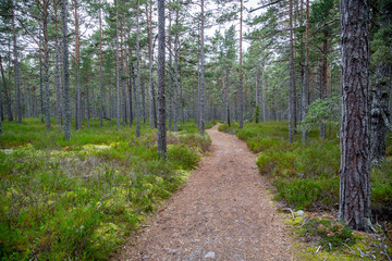 Perspective of walking trail in a pine forest at Gotska sandon national park Sweden.