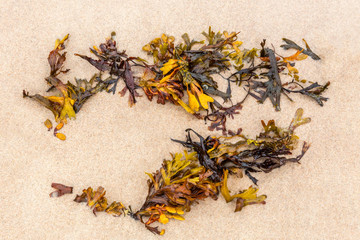 Close up of orange seaweed on fine sandy beach seen from above.