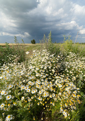 Camomile, tree and storm clouds