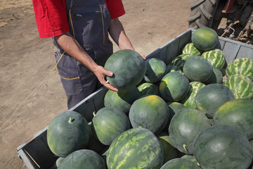Farmer selling watermelons from heap at trailer, and holding one to show quality