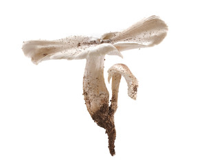 termite mushroom isolated on white background.