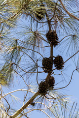 Cones on a coniferous tree against a blue sky