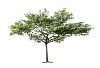 Tropical tree isolated on white