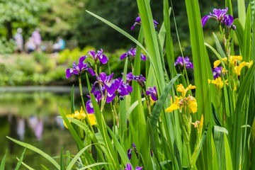Yellow and purple iris on the water front